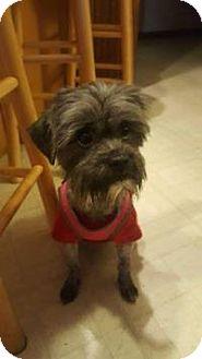 Shih Tzu Mix Puppy for adoption in Marlton, New Jersey - Missy