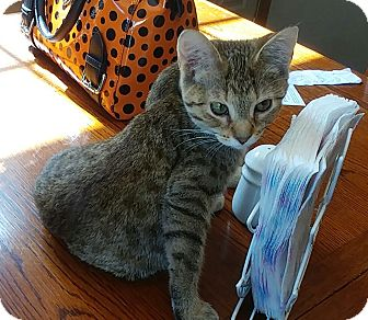 Domestic Shorthair Kitten for adoption in Lewis Center, Ohio - Maddy