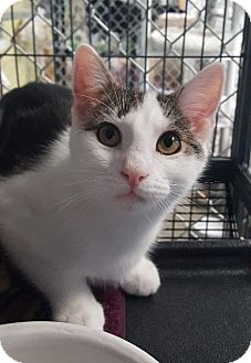 Domestic Shorthair Cat for adoption in Freeport, New York - Loki
