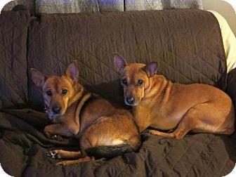 German Shepherd Dog Mix Dog for adoption in New York, New York - Brandi