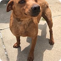 Adopt A Pet :: Hershey - Garden City, MI