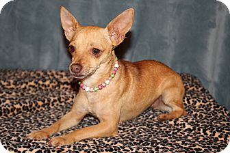 Chihuahua Dog for adoption in Yukon, Oklahoma - Cayenne