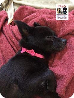 Pomeranian/Schipperke Mix Dog for adoption in Killeen, Texas - Jewel