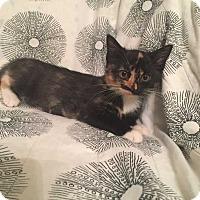 Adopt A Pet :: Splish - Addison, IL