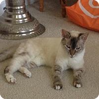Burmese Cat for adoption in Orlando, Florida - Pebble