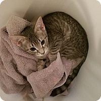 Adopt A Pet :: Benni - Scottsdale, AZ