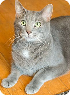 Domestic Shorthair Cat for adoption in Chicago, Illinois - Cooke