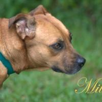 Black Mouth Cur Mix Dog for adoption in Middleburg, Florida - Millie