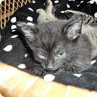 Adopt A Pet :: midnight - grove city, OH