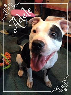 Pit Bull Terrier Mix Dog for adoption in Vernon, Connecticut - Adele