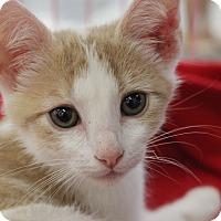 Adopt A Pet :: Diana Queen of Hearts - Wichita Falls, TX