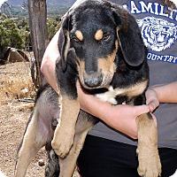 Adopt A Pet :: BOBBY - Corona, CA