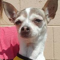 Adopt A Pet :: CHANEL - Huntington Beach, CA