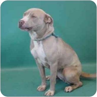 American Pit Bull Terrier Mix Dog for adoption in Berkeley, California - Pitgirl
