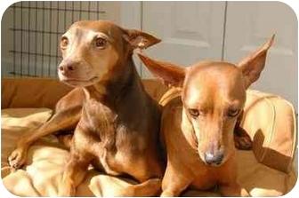 Miniature Pinscher Dog for adoption in Nashville, Tennessee - Sasha