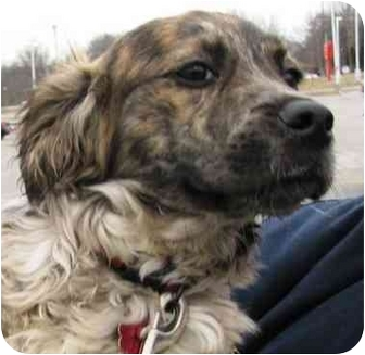 Corgi/Australian Shepherd Mix Puppy for adoption in Lafayette, Indiana - Nemo