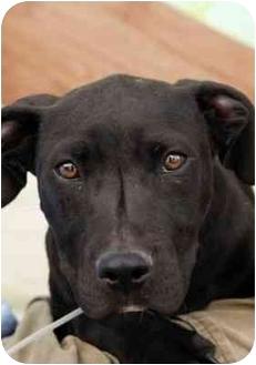 Labrador Retriever/Pit Bull Terrier Mix Puppy for adoption in Los Angeles, California - BOSTON
