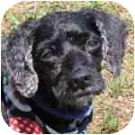 Cockapoo Mix Dog for adoption in Eatontown, New Jersey - Jake