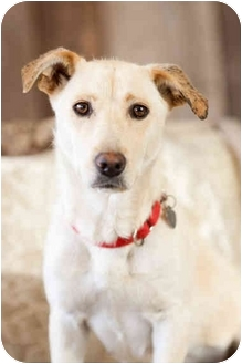 Labrador Retriever/Corgi Mix Dog for adoption in Portland, Oregon - Snowy