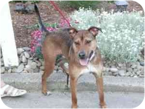 Shepherd (Unknown Type)/Rhodesian Ridgeback Mix Dog for adoption in Youngwood, Pennsylvania - Sarge
