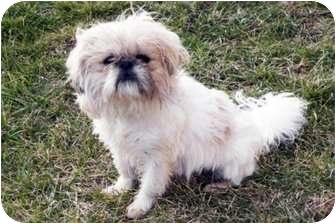 Shih Tzu Mix Dog for adoption in Sullivan, Missouri - Spencer