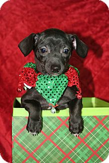 Dachshund Mix Puppy for adoption in Westminster, Colorado - Lilou