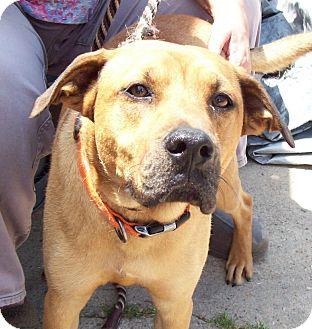 Boxer/Labrador Retriever Mix Dog for adoption in Leland, Mississippi - BUDDY BOY