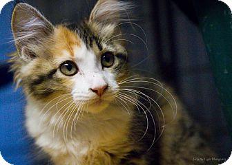 Domestic Mediumhair Kitten for adoption in Bulverde, Texas - Maggie