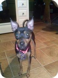 Miniature Pinscher Mix Dog for adoption in Westfield, Massachusetts - Mr Wiggles