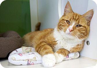 Domestic Shorthair Cat for adoption in Houston, Texas - Calliope