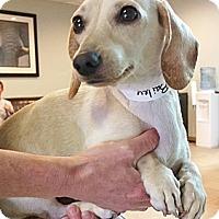 Adopt A Pet :: Bailey - mini dachshund - Phoenix, AZ