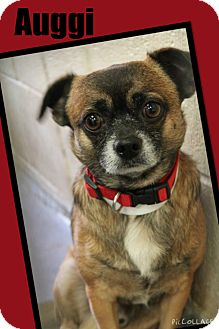 Pug/Chihuahua Mix Dog for adoption in Apache Junction, Arizona - Auggi