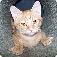 Adopt A Pet :: Zoidberg - St. Louis, MO