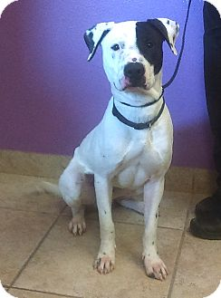 American Bulldog Mix Dog for adoption in Kirby, Texas - Brody