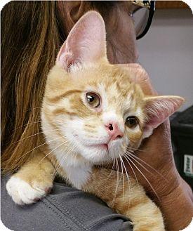 Domestic Shorthair Kitten for adoption in Albion, New York - Jigger