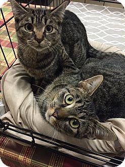 Domestic Shorthair Kitten for adoption in Greensburg, Pennsylvania - Lola and Lila