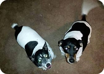 Jack Russell Terrier/Beagle Mix Dog for adoption in Austin, Texas - Rosarita & Rover in Ft. Worth