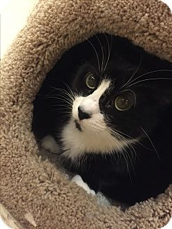 Domestic Shorthair Cat for adoption in Brea, California - BABY