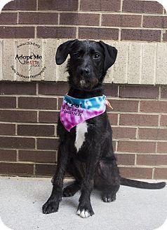 Poodle (Standard)/Pit Bull Terrier Mix Dog for adoption in Charlotte, North Carolina - Nova