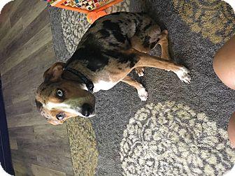 Catahoula Leopard Dog Mix Puppy for adoption in Alafaya, Florida - Luna