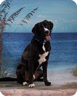 Border Collie Mix Dog for adoption in Tampa, Florida - Charlie Moonpie aka Oreo