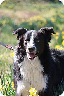Border Collie Dog for adoption in Highland, Illinois - Beau