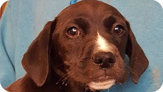 Coonhound/Australian Cattle Dog Mix Puppy for adoption in Colonial Heights, Virginia - Nutella