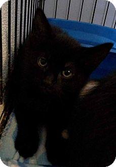 Domestic Shorthair Kitten for adoption in Jefferson, North Carolina - Alice
