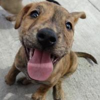 Australian Cattle Dog/American Pit Bull Terrier Mix Dog for adoption in Fairfield, Iowa - Desi