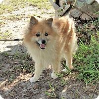 Adopt A Pet :: Tupac - Tavares, FL