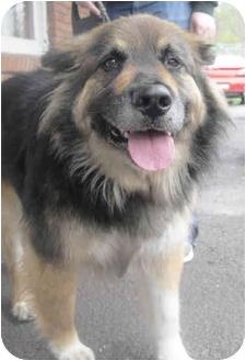 Collie/German Shepherd Dog Mix Dog for adoption in Honesdale, Pennsylvania - Boomer