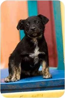 Border Collie Mix Puppy for adoption in Portland, Oregon - Bates