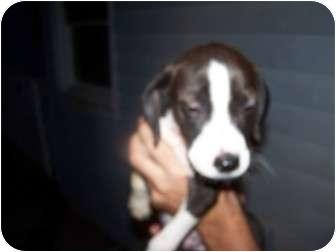 German Shorthaired Pointer Mix Puppy for adoption in Menasha, Wisconsin - Walter