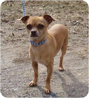 Chihuahua Dog for adoption in Fairmount, Georgia - Poncho